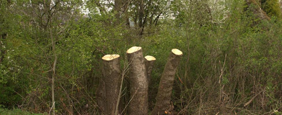 Morgans / Cottage Lane Park Trees